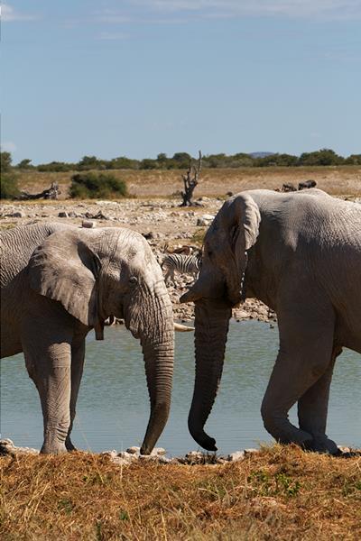 Elefantkos