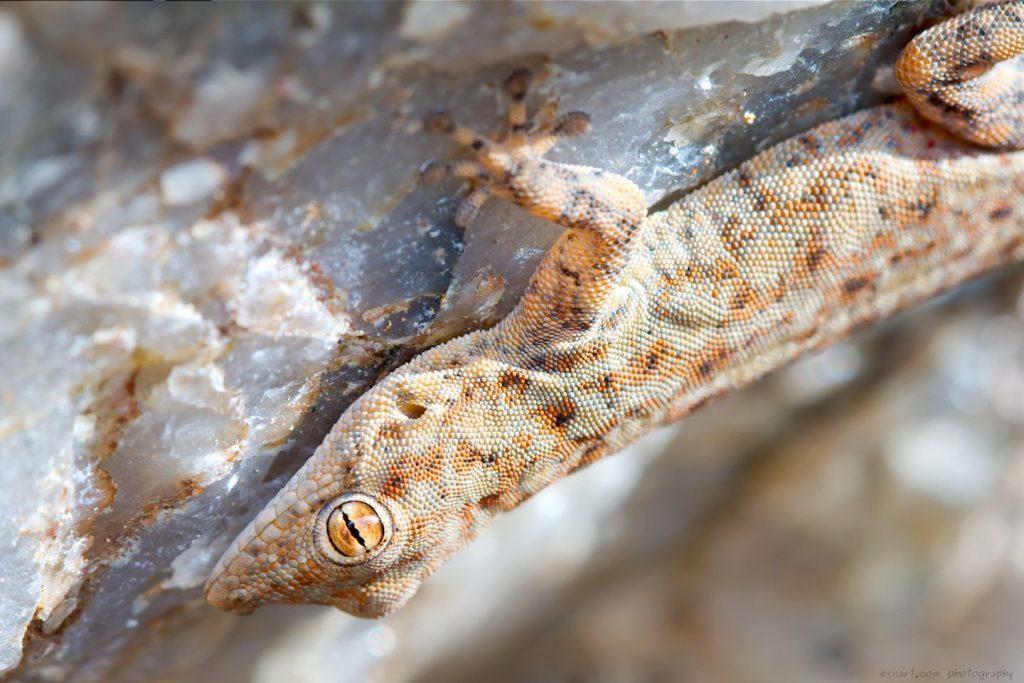 Namib day gecko